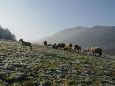 Schafe k